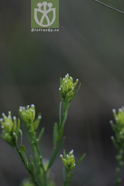 Diarthron linifolium