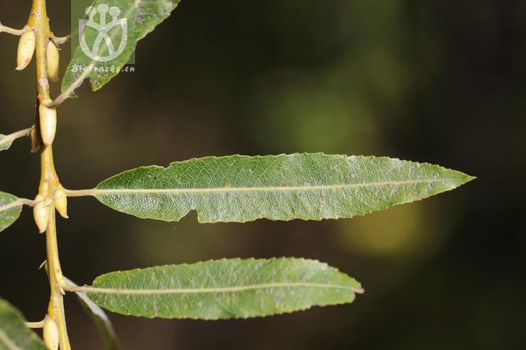 Salix purpurea