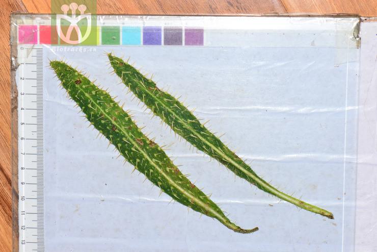 Meconopsis racemosa