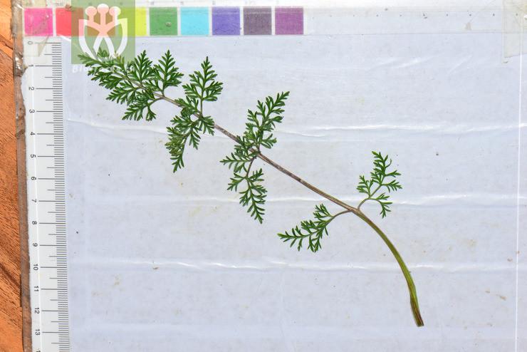 Pleurospermum wrightianum