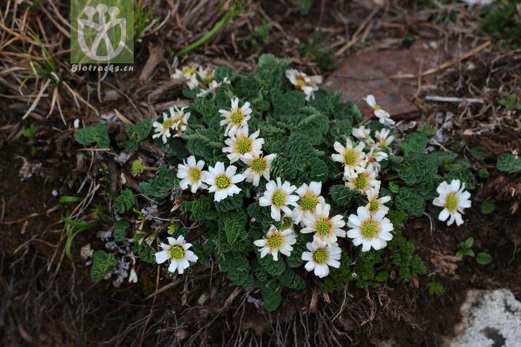 Callianthemum taipaicum