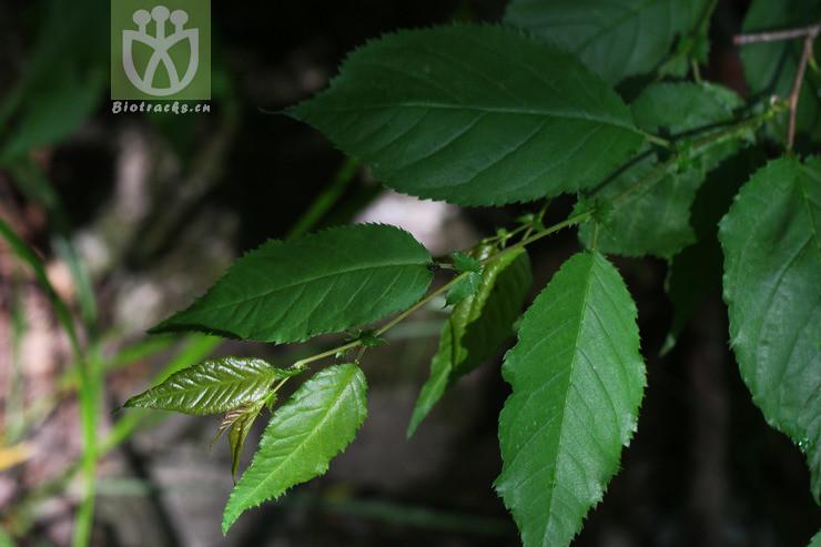 Cerasus conadenia