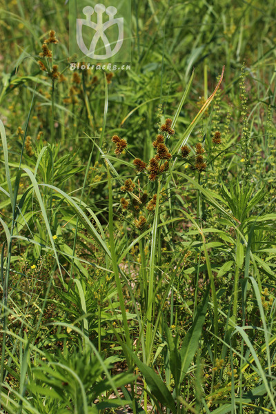 Cyperus multumbelliferus