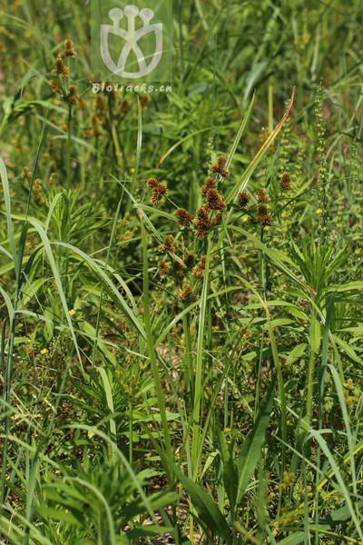 Cyperus glomeratus