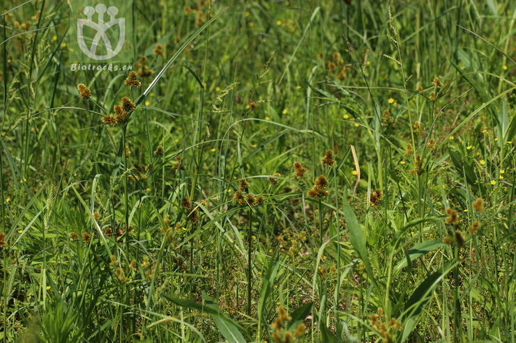 Cyperus glomeratus var. semiradiciflorus