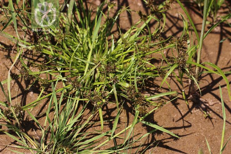 Cyperus fuscus var. nigricans