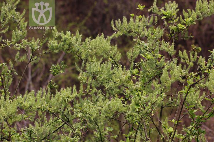 Salix permollis