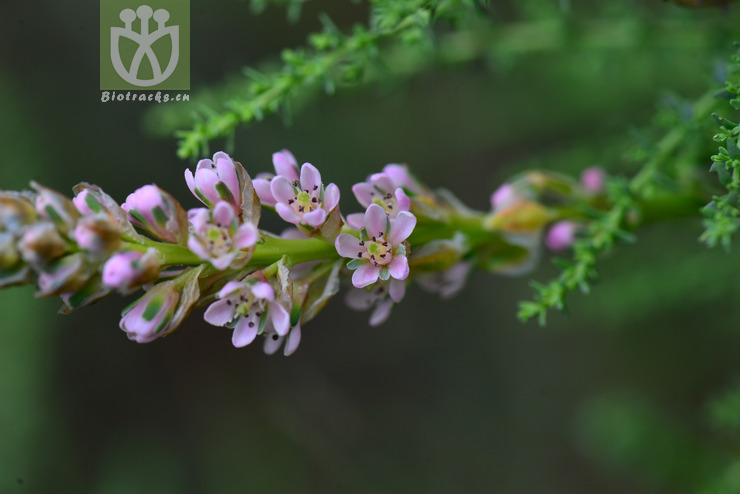 Myricaria bracteata