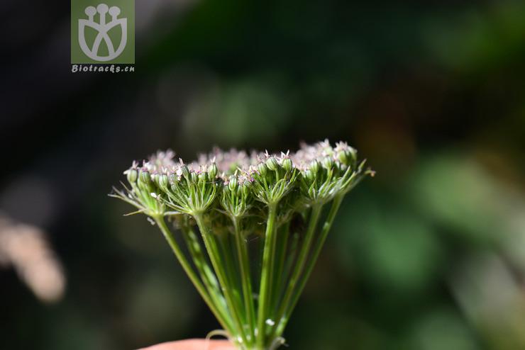 Ligusticum thomsonii