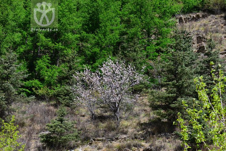 Armeniaca sibirica