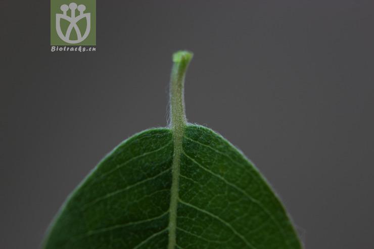 Salix hylonoma
