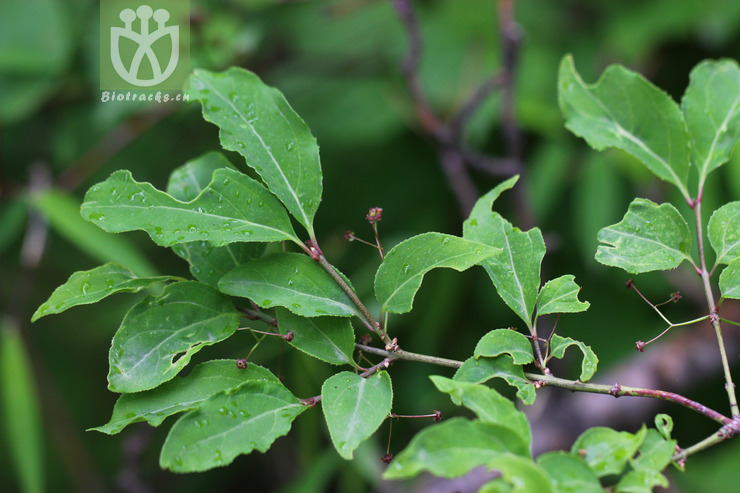 Euonymus frigidus