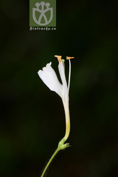 Lonicera similis