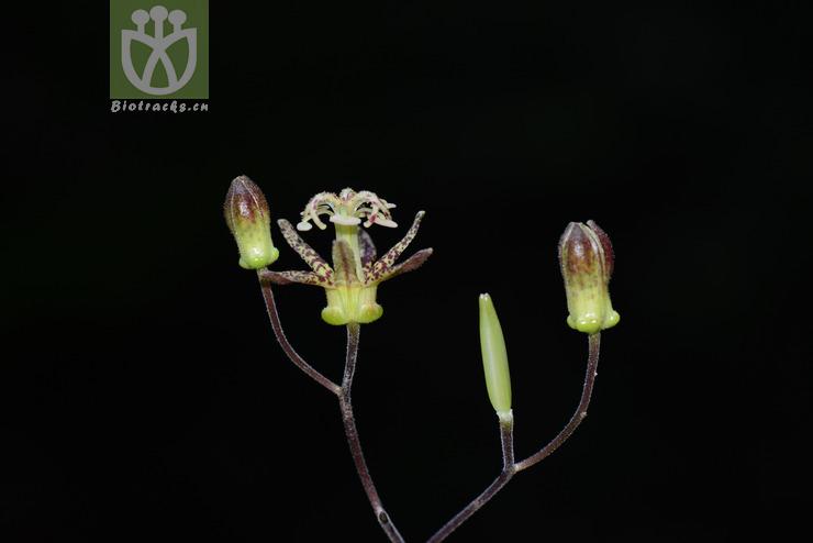 Tricyrtis latifolia var. emaculata