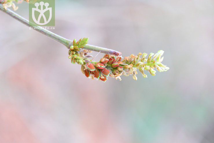 Flemingia wallichii