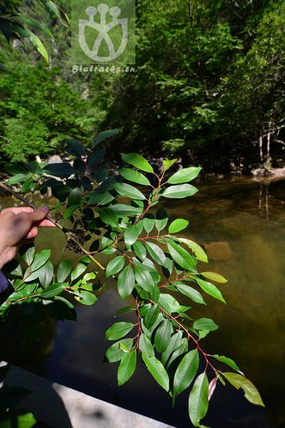 Salix wallichiana