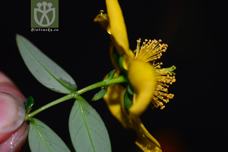 Hypericum henryi subsp. uraloides