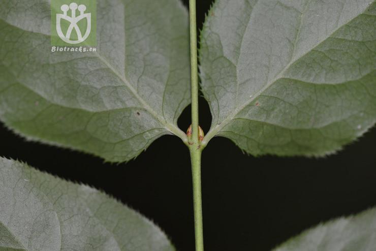 Euonymus perbellus