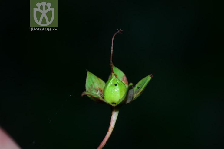 Hypericum prattii