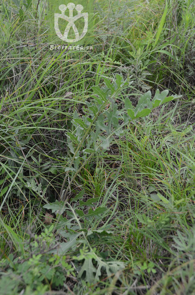 Rhaponticum uniflorum