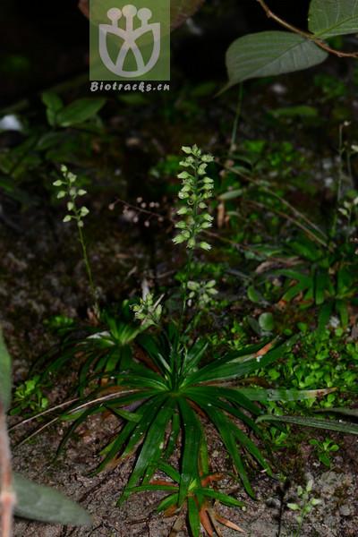Aletris pedicellata