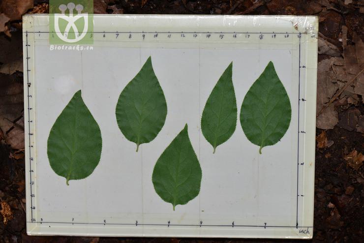 Euonymus kansuensis
