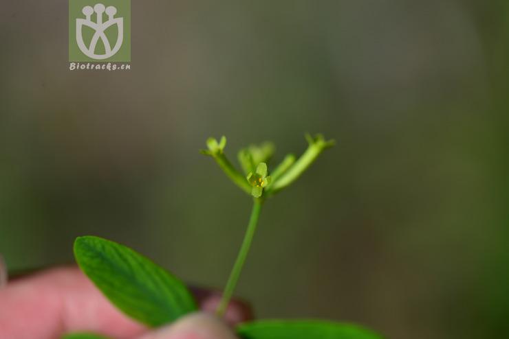 Wikstroemia micrantha