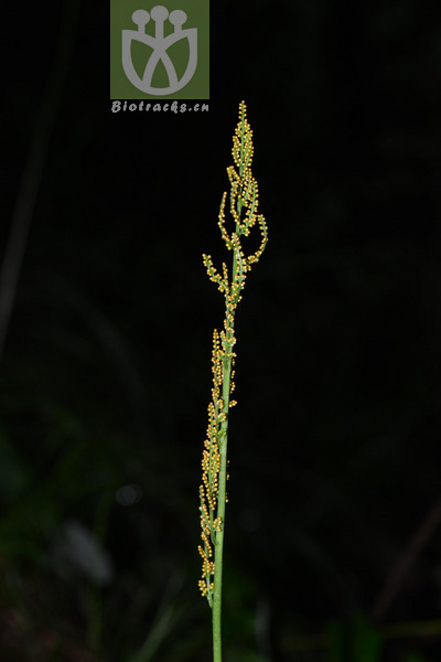 Botrychium strictum