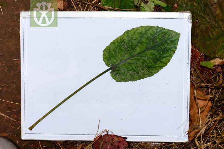 Salvia kiangsiensis