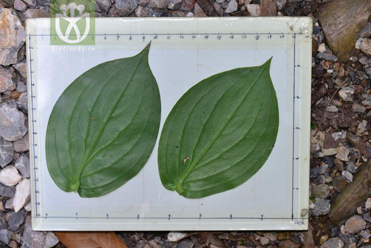 Tricyrtis latifolia