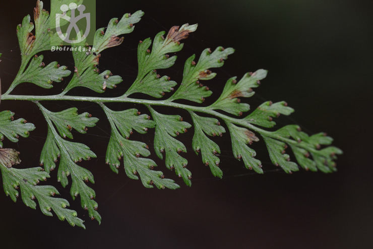 Dennstaedtia wilfordii
