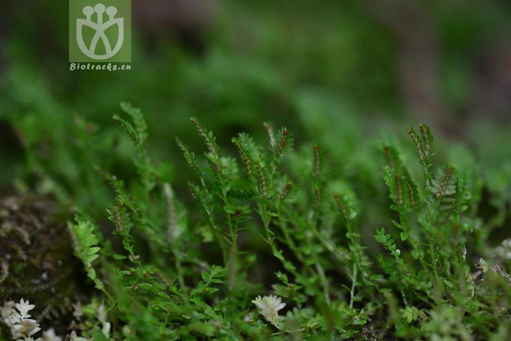Selaginella xipholepis