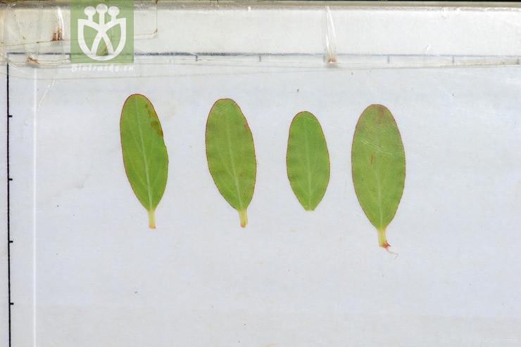 Hypericum petiolulatum subsp. yunnanense