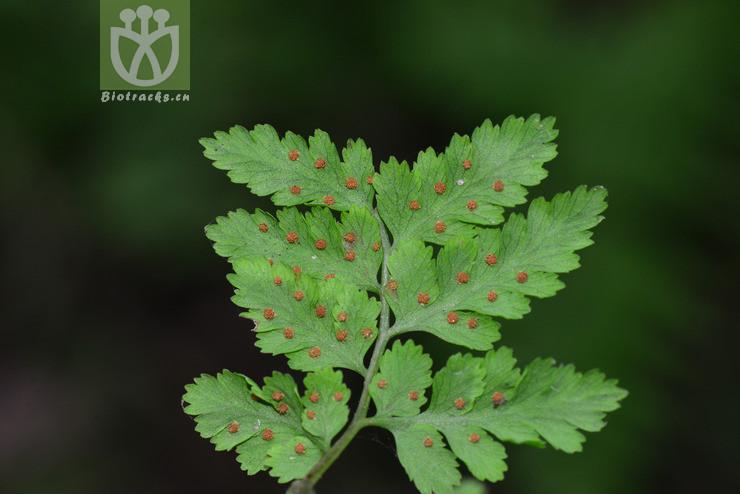 Cystopteris moupinensis