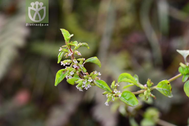 Clinopodium confine