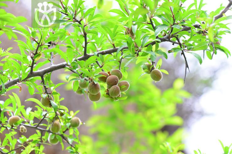 Prunus tangutica
