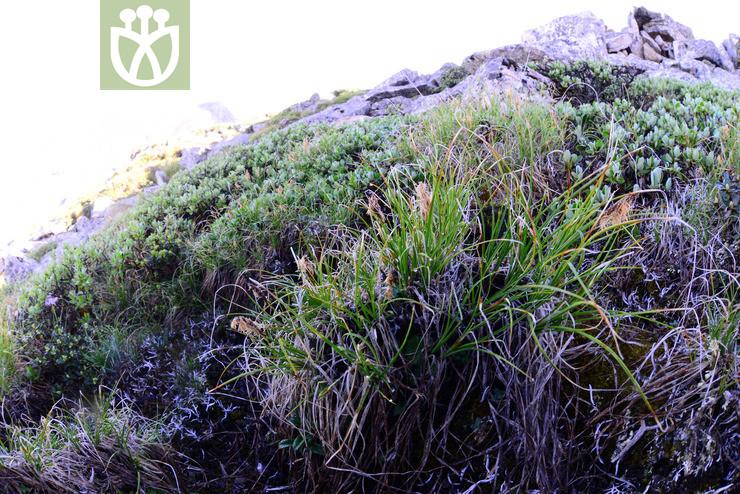 Kobresia graminifolia