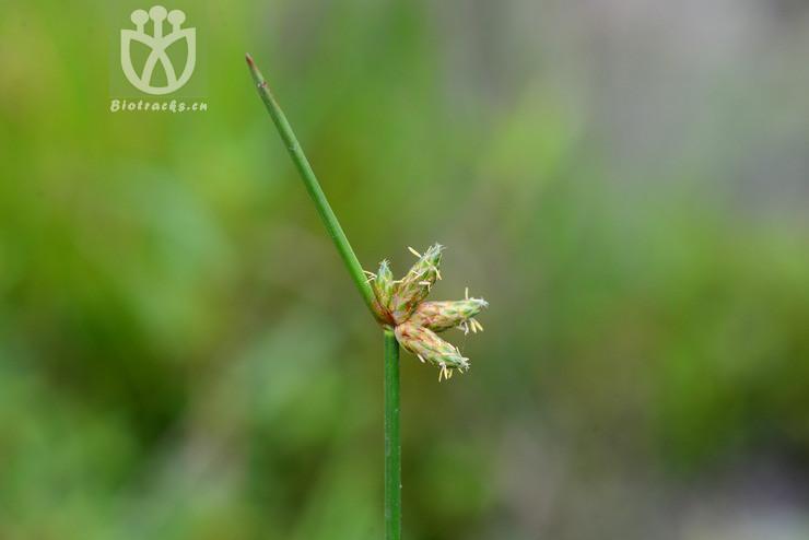 Scirpus juncoides