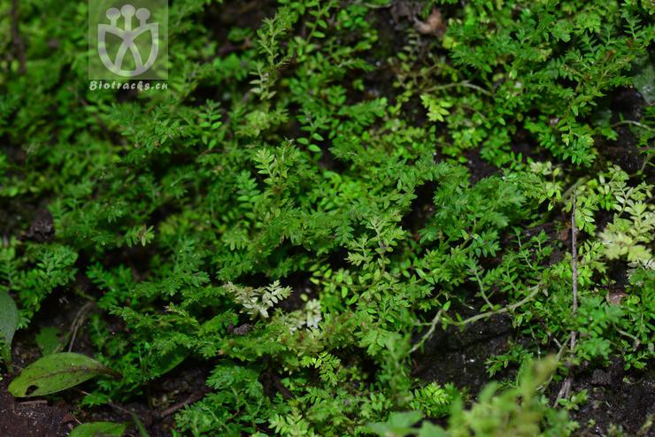 Selaginella leptophylla