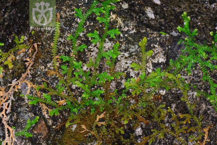 Selaginella davidii