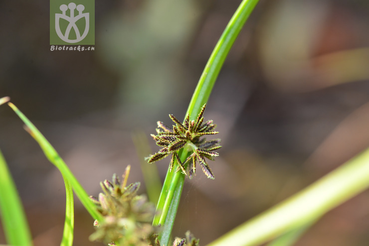 Cyperus haworthii