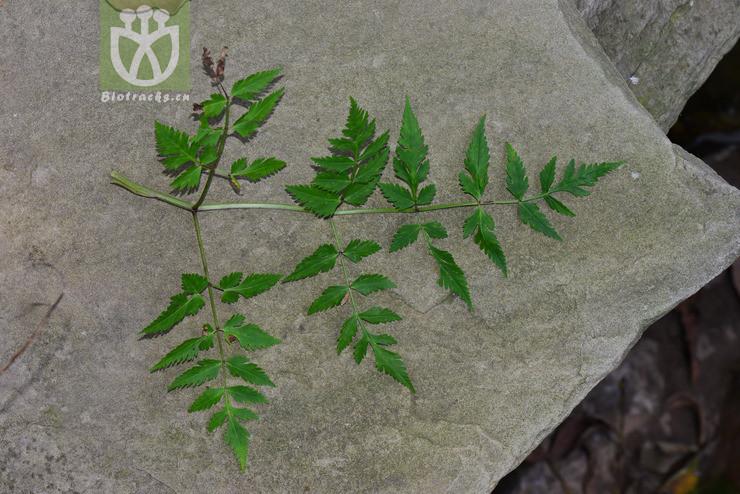 Ligusticum acuminatum