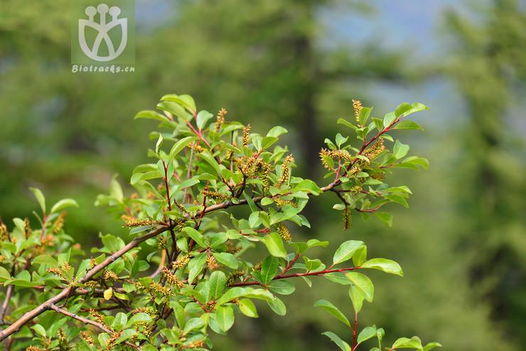 Salix wangiana
