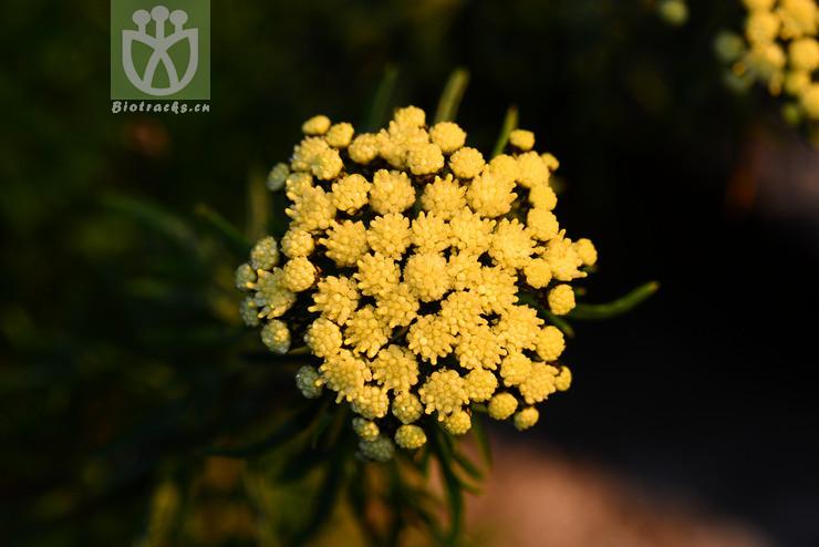 Ajania variifolia