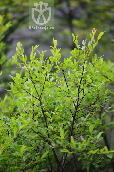 Salix tangii