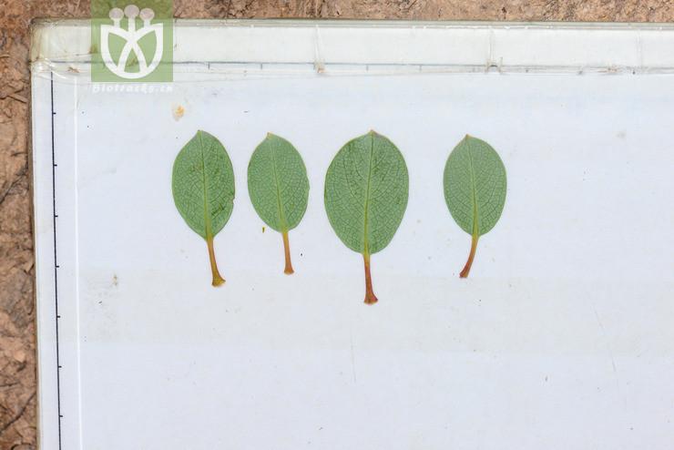 Salix cupularis