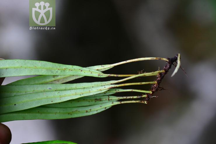 Lepisorus angustus