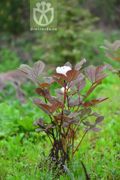 Paeonia obovata subsp. obovata