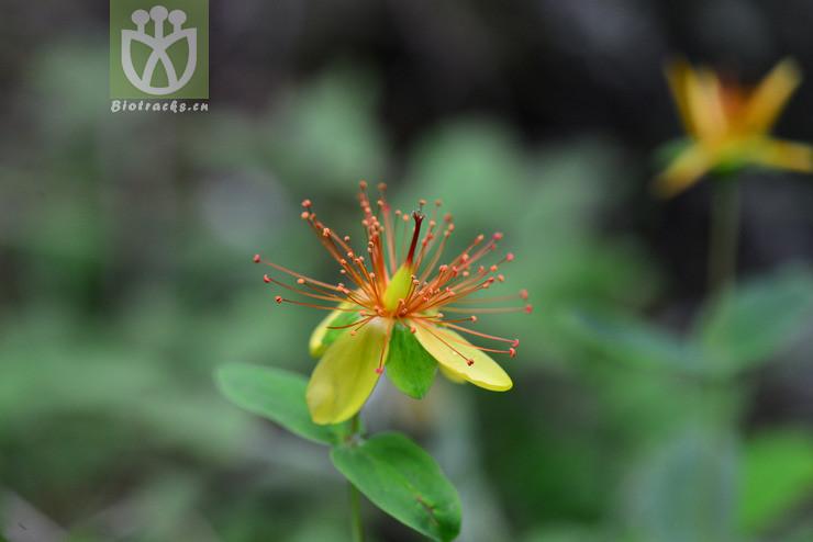 Hypericum przewalskii