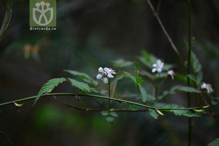 Rubus pungens